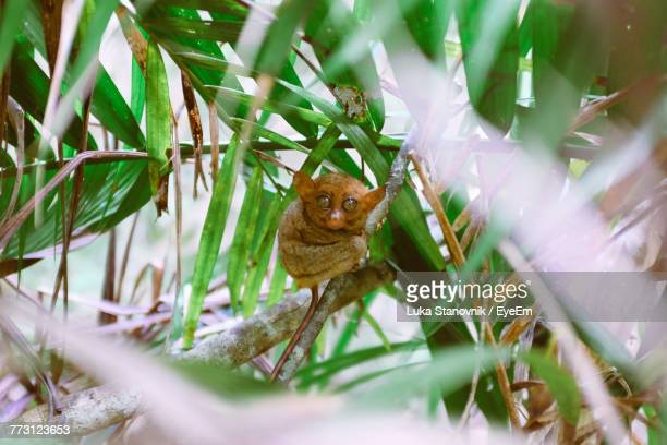close-up of tarsier on tree - tarsier stock photos and pictures