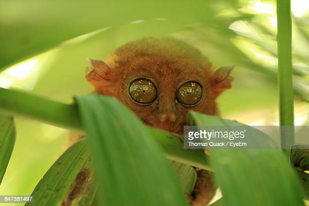 close-up of tarsier - tarsier stock photos and pictures