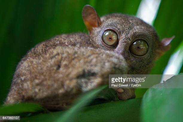 Close-Up Of Tarsier