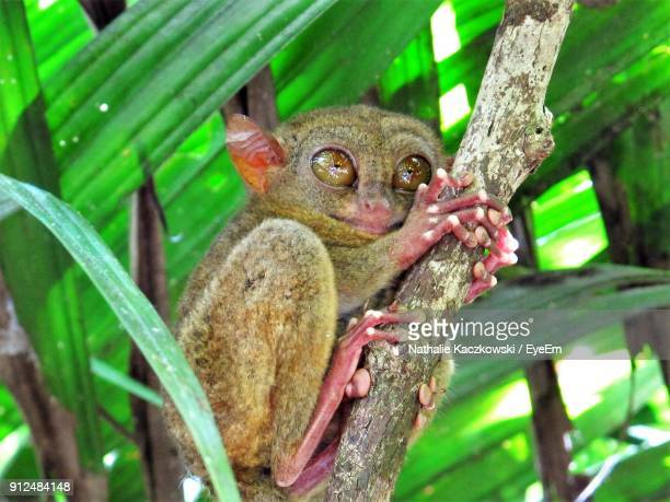 close-up of tarsier relaxing on plant - tarsier stock photos and pictures