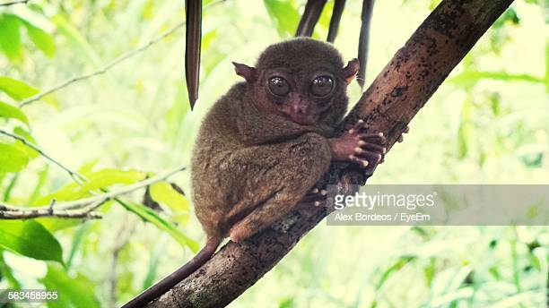 Close-Up Of Tarsier Sitting On Branch