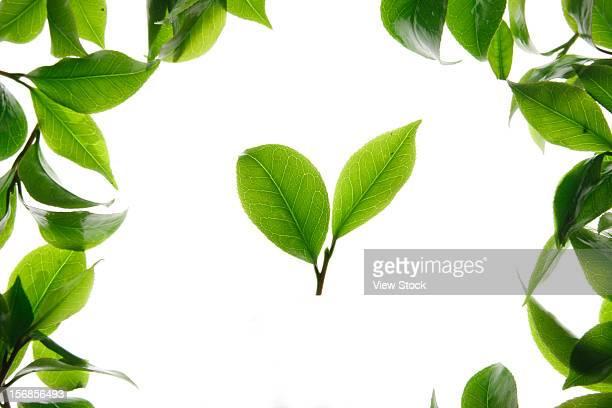 close-up of tea leaves - hoja te verde fotografías e imágenes de stock