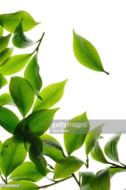 close-up of tea leaves - tea leaves stock photos and pictures