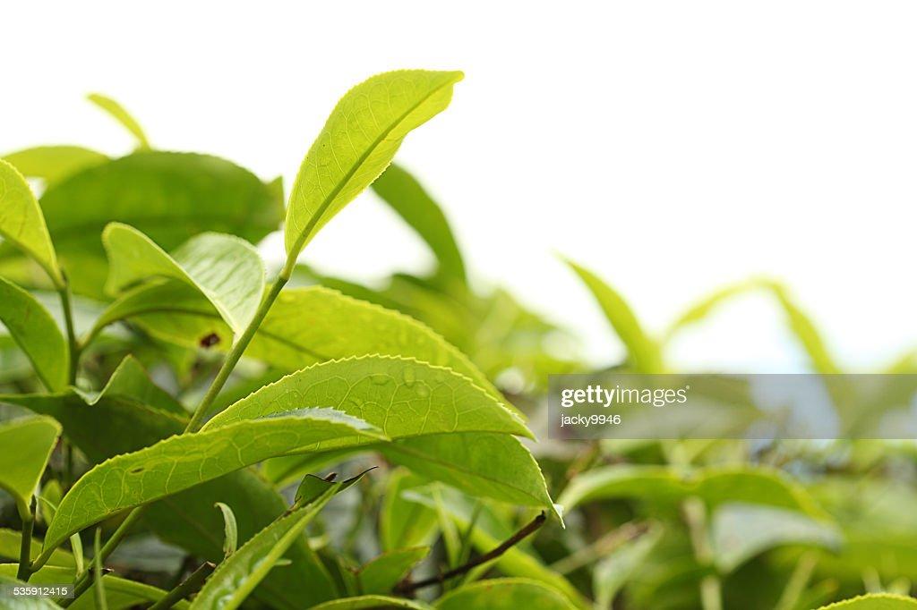 Close-up de Folhas de Chá : Foto de stock