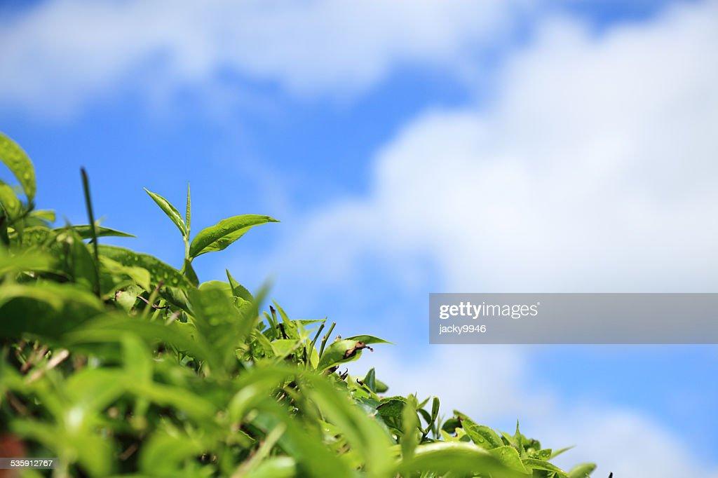 Primer plano de hojas de té : Foto de stock