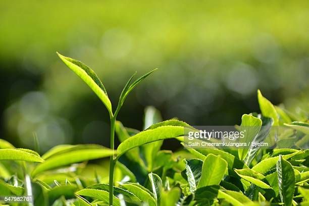 close-up of tea leaves - crop plant - fotografias e filmes do acervo