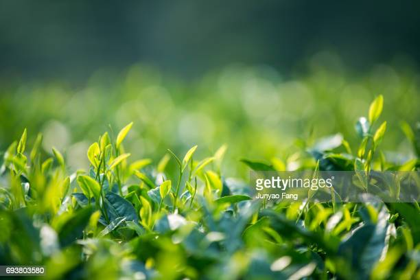 close-up of tea leaves - camellia sinensis stock photos and pictures
