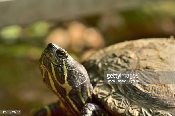 close-up of terrapin - police mugshot stock pictures, royalty-free photos & images