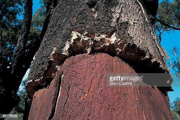 Closeup of the bark of Cork oak tree
