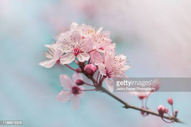 close-up of the beautiful spring black cherry plum pink blossom flowers (prunus cerasifera 'nigra') - cherry blossom stock pictures, royalty-free photos & images