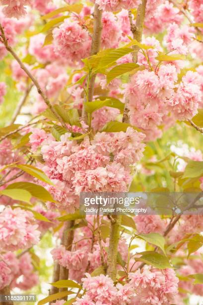 close-up of the beautiful spring flowering japanese ornamental cherry tree blossom 'prunus kanzan' soft pink flowers - cherry blossom stock pictures, royalty-free photos & images