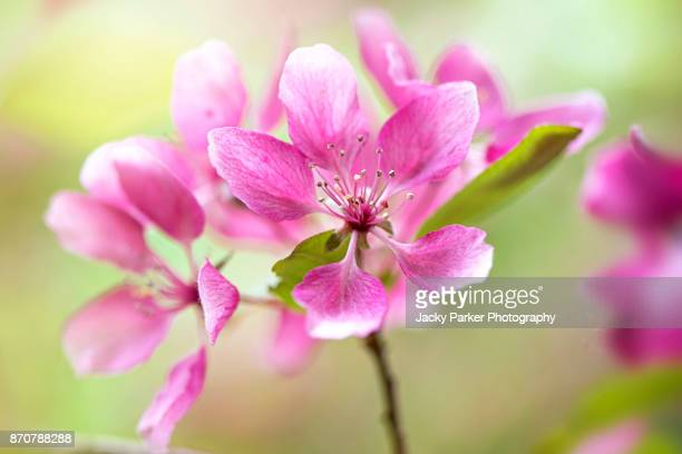close-up of the beautiful spring pink blossom of malus 'profusion' - flowering crab apple tree - blossom stock pictures, royalty-free photos & images