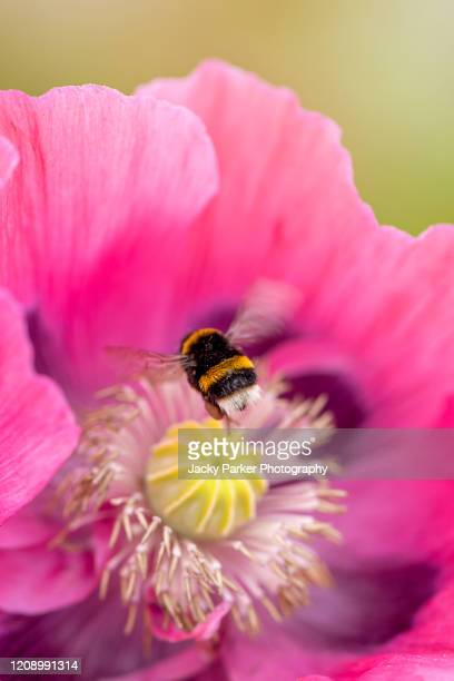 close-up of the beautiful summer flowering, vibrant pink opium poppy - papaver somniferum with a bee collecting pollen - honey bee stock pictures, royalty-free photos & images