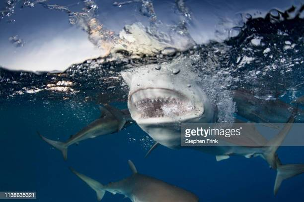 close-up of the biting power of a reef shark. - reef shark stock pictures, royalty-free photos & images