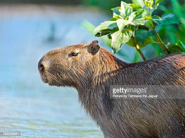 Closeup of the capybara at the water