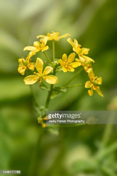close-up of the delicate yellow flower of leontice leontopetalum - hermaphrodite stock pictures, royalty-free photos & images