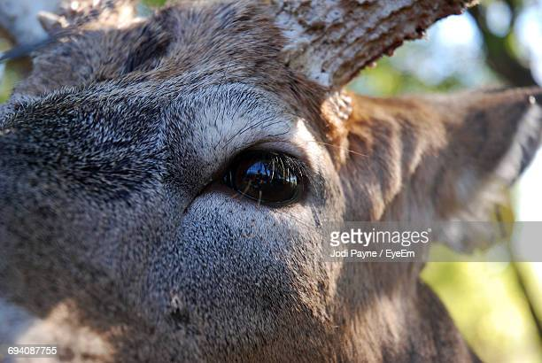 Close-Up Of The Eye Of A Deer