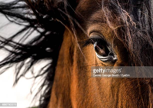 Close-Up Of The Eye Of A Horse Looking At Camera