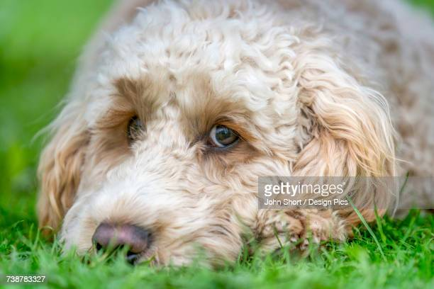 Close-up of the face of a blond cockapoo resting on the grass