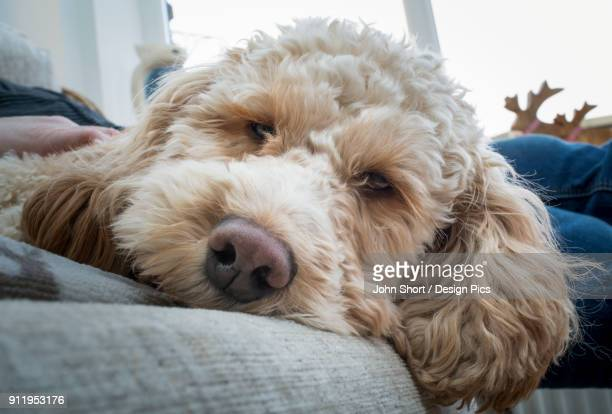 Close-Up Of The Face Of A Cockapoo Looking Into The Camera As It Lays On A Bed With Its Owner