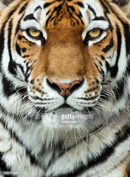 Close-up of the face of a tiger