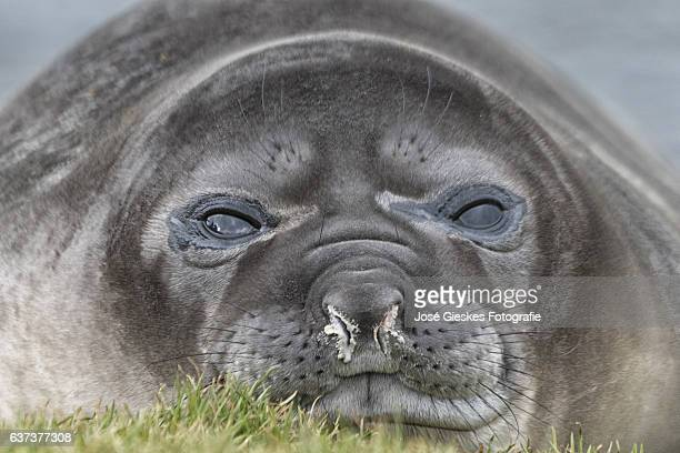 Close-up of the face of the pup of an elephant seal that has a very dirty nose