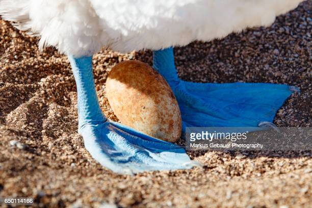 Close-Up of the feeds of a blue footed booby protecting his egg on Santa Cruz Island, Galapagos Islands