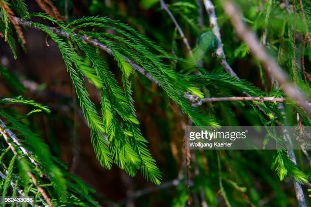 Closeup of the foliage of El Arbol del Tule a tree located in the church grounds in the town center of Santa Maria del Tule in the Mexican state of...