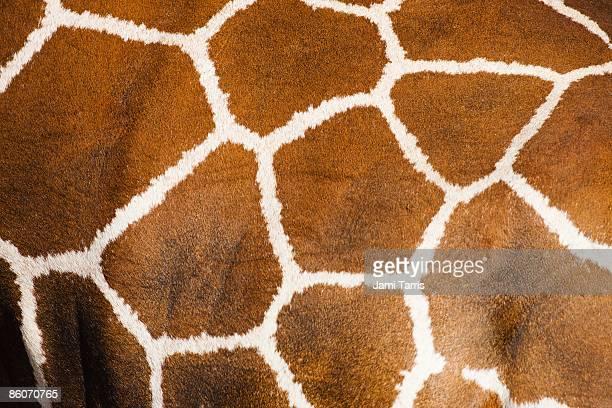 Close-up of the fur on a Reticulated giraffes (Giraffe camelopardalis) Samburu, Kenya