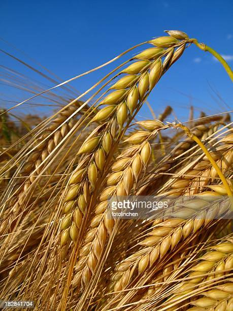 Close-up of the golden grain of ripe barley crop