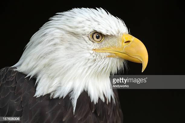 A close-up of the head of a bald eagle