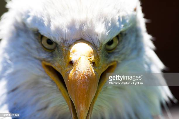 Close-Up Of The Head Of A Bald Eagle