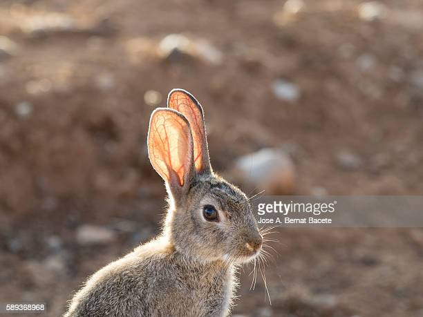 Closeup of the head of a rabbit field. ( Species Oryctolagus cuniculus.)