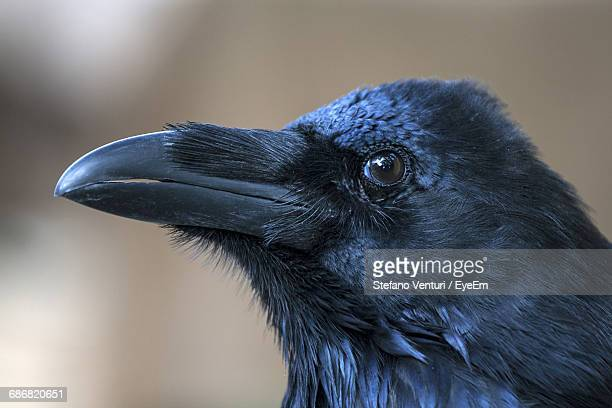 close-up of the head of a raven looking away - crow stock photos and pictures
