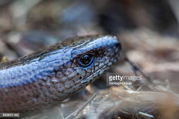 close-up of the head of a slow worm - orvet photos et images de collection