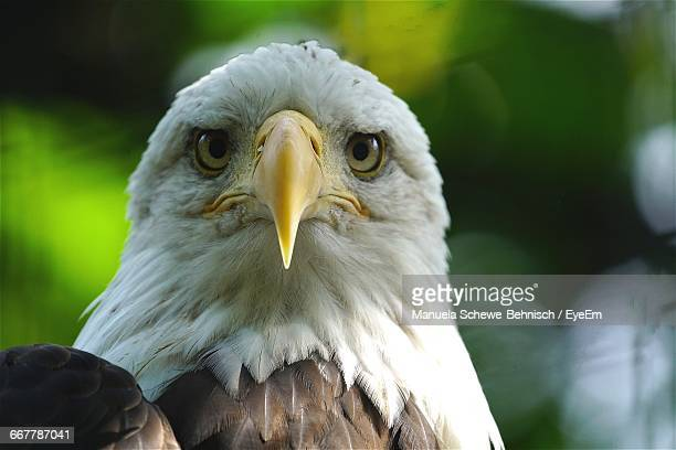 Close-Up Of The Head Of An Alert Bald Eagle