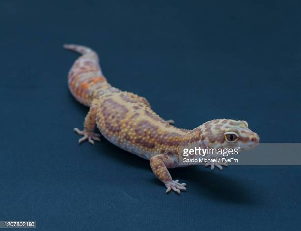 close-up of the mack snow enigma gecko on black background - mack stock pictures, royalty-free photos & images