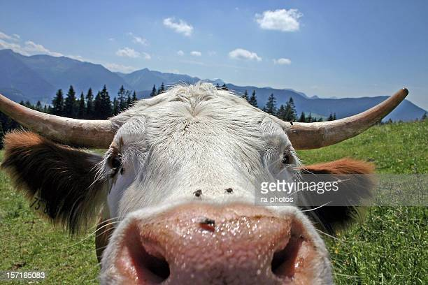 Close-up of the nose of a brown and white bull in a field