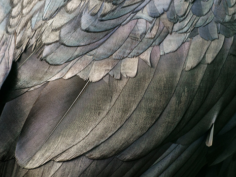 Close-up of the plumage of a common raven (Corvus corax). - gettyimageskorea