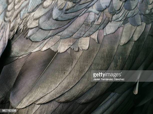 close-up of the plumage of a common raven (corvus corax). - feather stock pictures, royalty-free photos & images