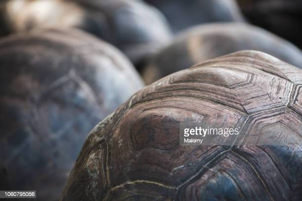 Close-up of the shells of giant turtles. La Digue, Baie Sainte Anne, Seychelles.
