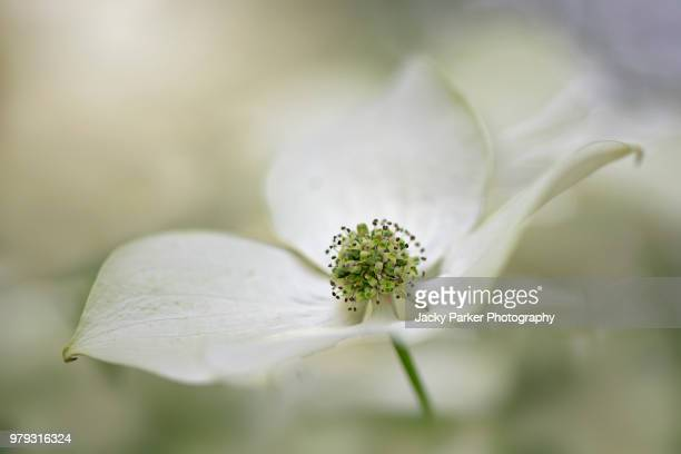 close-up of the single white summer flower of the cornus tree also known as flowering dogwood - innocence stock pictures, royalty-free photos & images