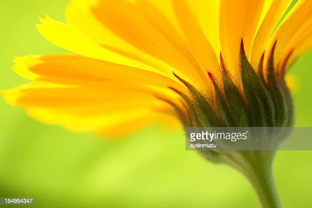 Closeup of the stem of a yellow daisy with green background