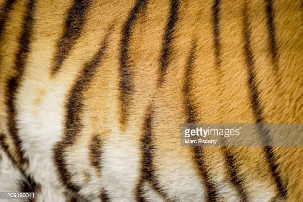 A closeup of the stripes on one of the 39 tigers rescued in 2017 from Joe Exotic's GW Exotic Animal Park as it relaxes at the Wild Animal Sanctuary...
