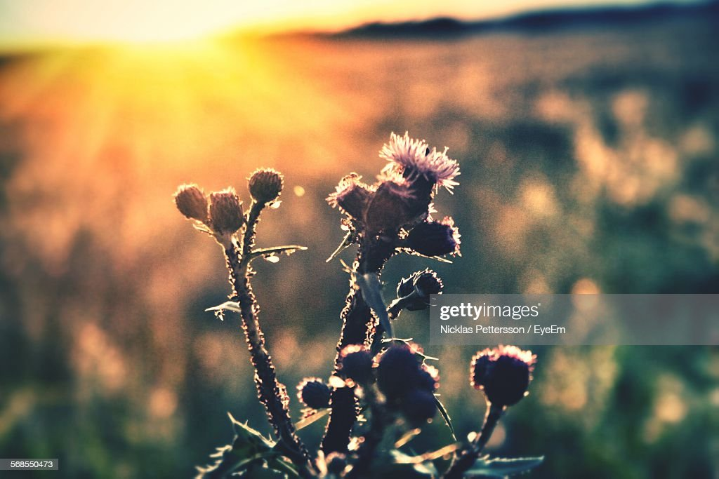 Close-Up Of Thistle And Bud Growing In Field : Stock Photo