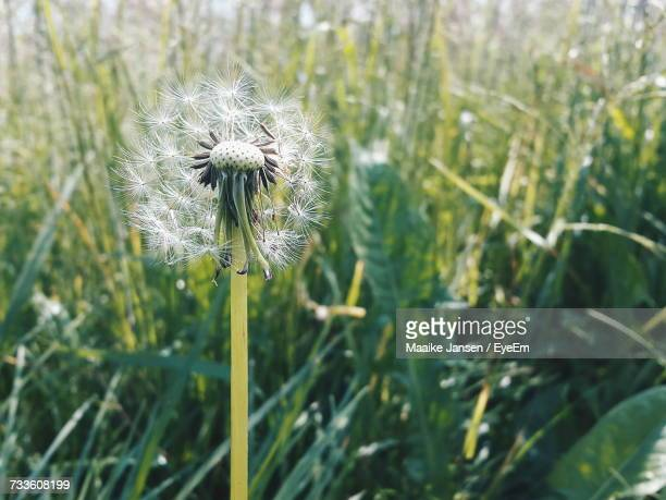 close-up of thistle blooming on field - maaike jansen photos et images de collection