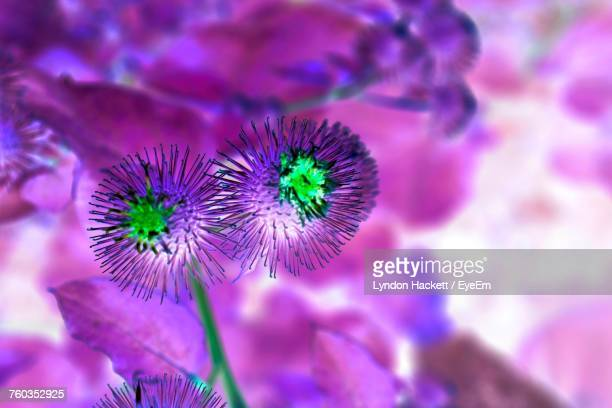 close-up of thistle blooming outdoors - hackett stock photos and pictures