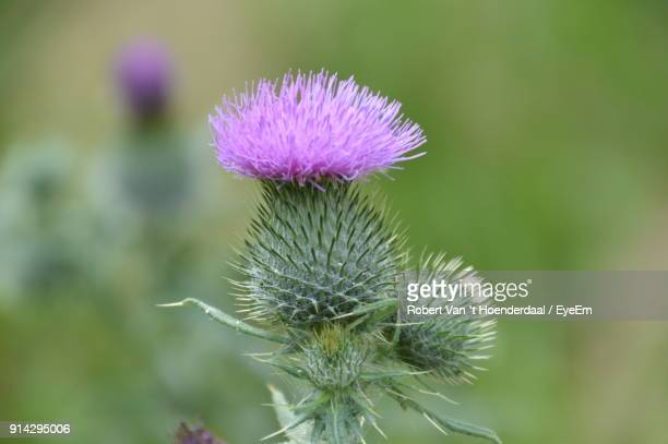 Close-Up Of Thistle Blooming Outdoors