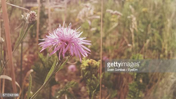Close-Up Of Thistle Flowers Blooming On Field