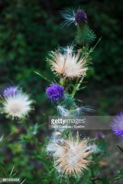 White thistle bloom stock photos and pictures getty images close up of thistle flowers on field mightylinksfo